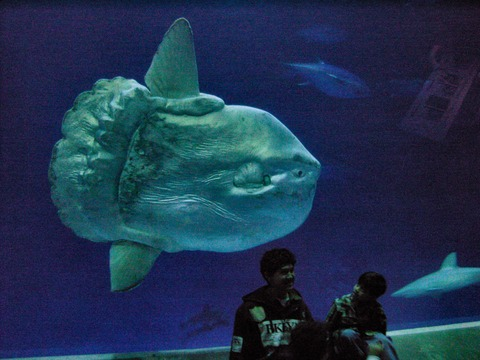 Mola_mola_ocean_sunfish_Monterey_Bay_Aquarium_2