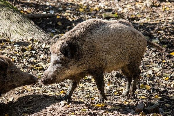 【朗報】猪肉、美味すぎる