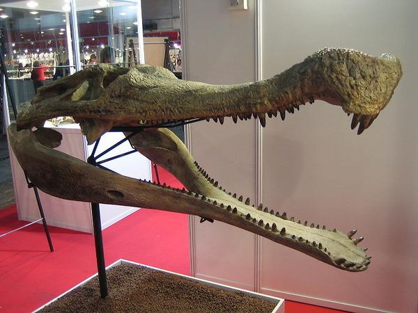 800px-Sarcosuchus_imperator_skull
