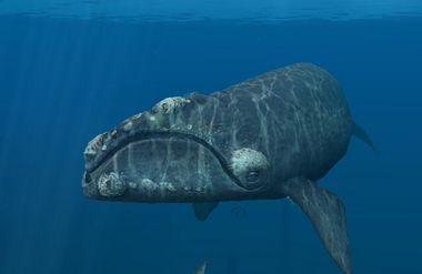 北極セミクジラ