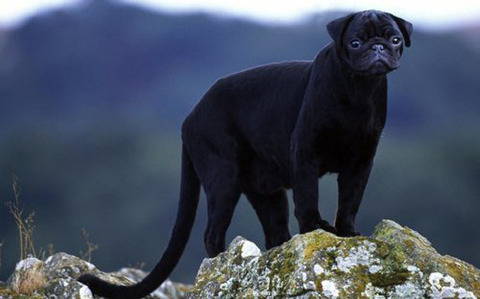 The Pugther