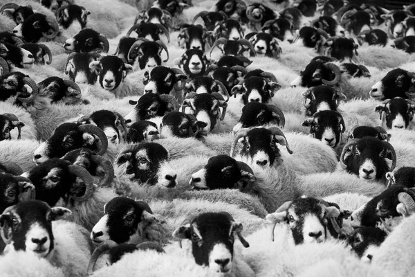 sheep-17482_960_720