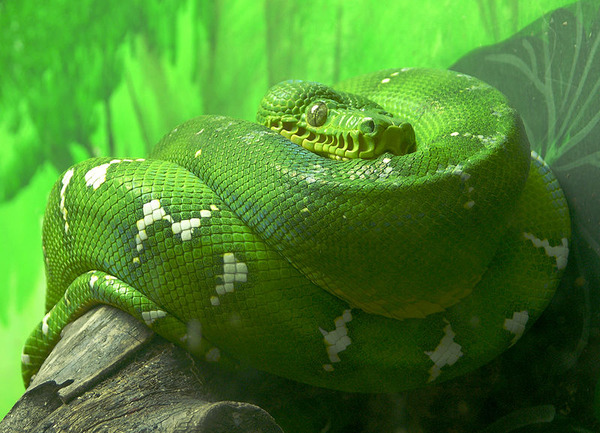800px-Emerald_Tree_Boa_Facing_Forward_2646px