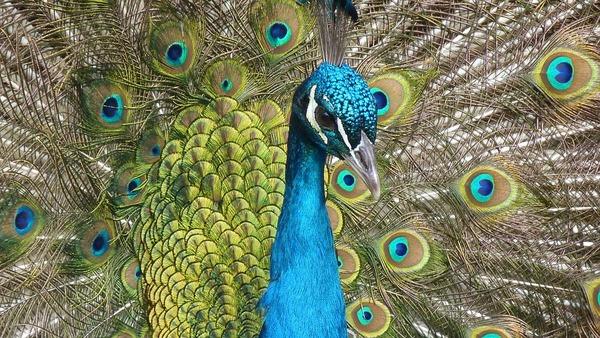 peacock-90051_960_720