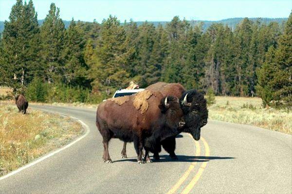 s-bison4