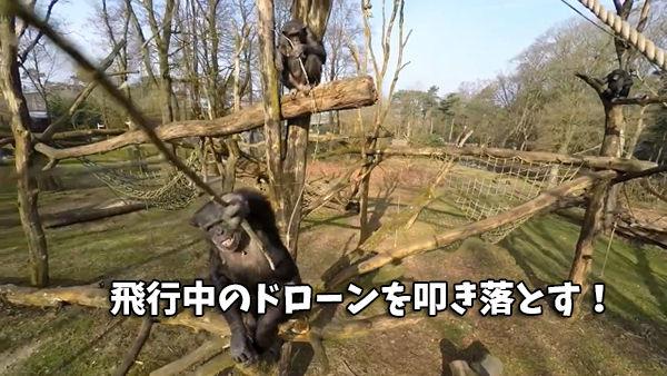 チンパンジーが枝で無人機を撃退