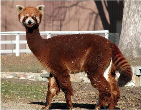 The Red Llama