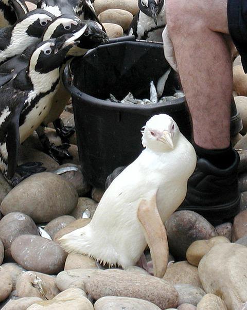 アルビノのペンギン
