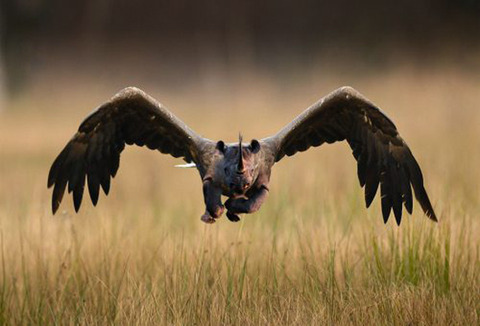 The Hawkoceros