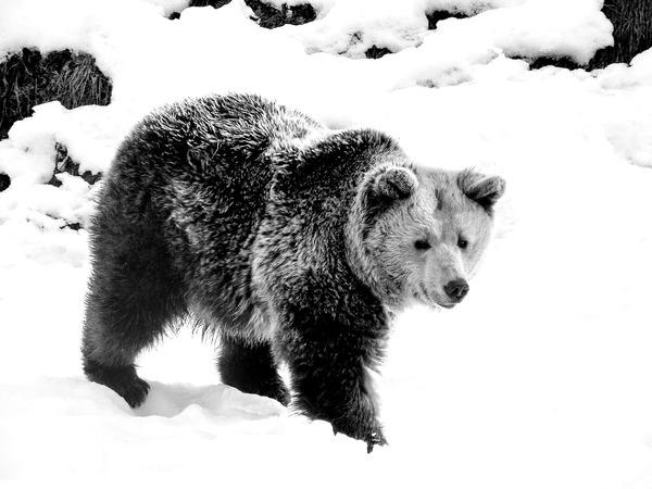 bear-2298529_1280