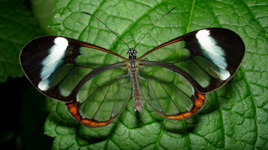 glasswing-butterfly3