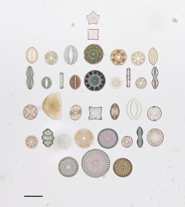 diatom-6