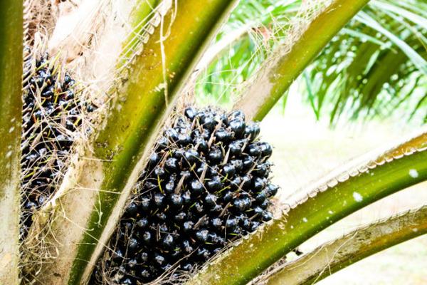 5-Palm-Oil-e1418267854318