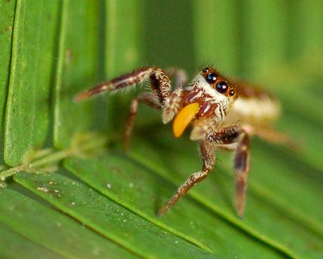 草食の蜘蛛