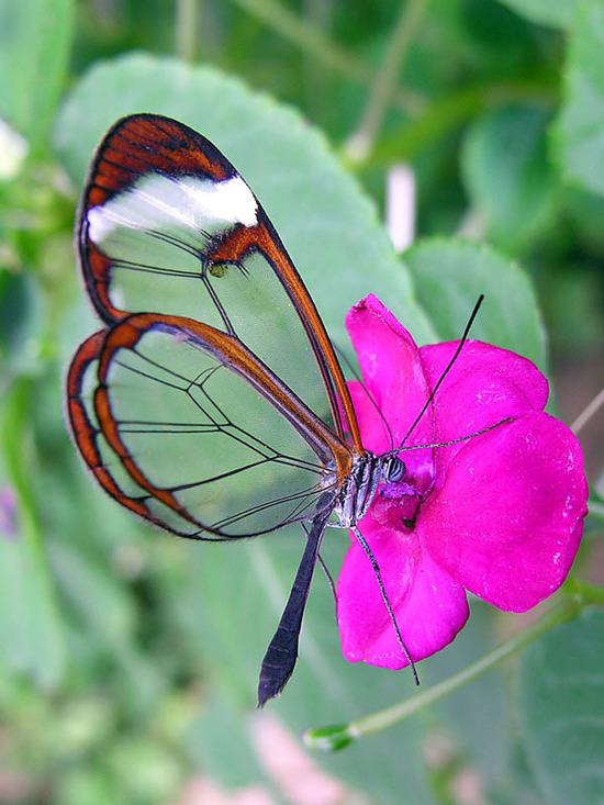 glasswing-butterfly9