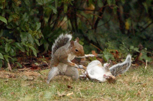 PAY-PROD-THEYRE-NUTTERS-NINJA-SQUIRRELS-SNAPPED-IN-AERIAL-DUEL