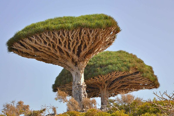 Dragons_Blood_Tree,_Socotra_Island_(10941931846)