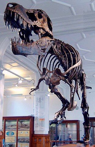 311px-Stan_the_Trex_at_Manchester_Museum