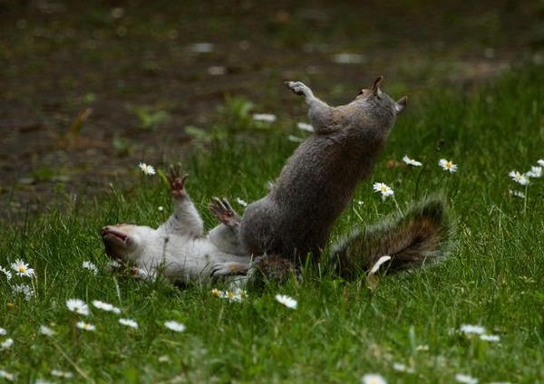 PAY-PROD-THEYRE-NUTTERS-NINJA-SQUIRRELS-SNAPPED-IN-AERIAL-DUEL-1