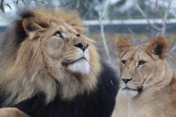 male-lion-3997170_960_720