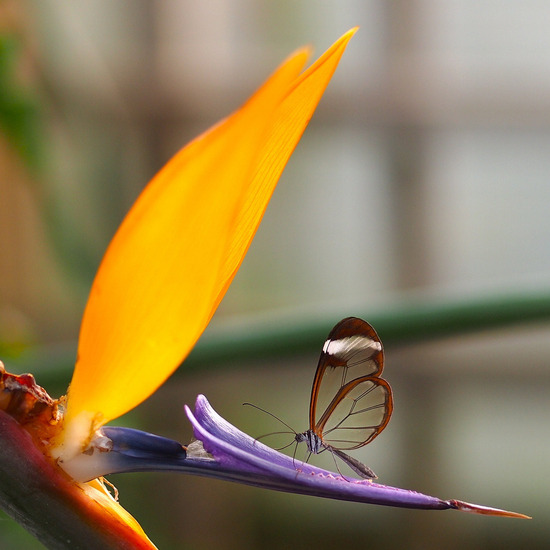 glasswing-butterfly4