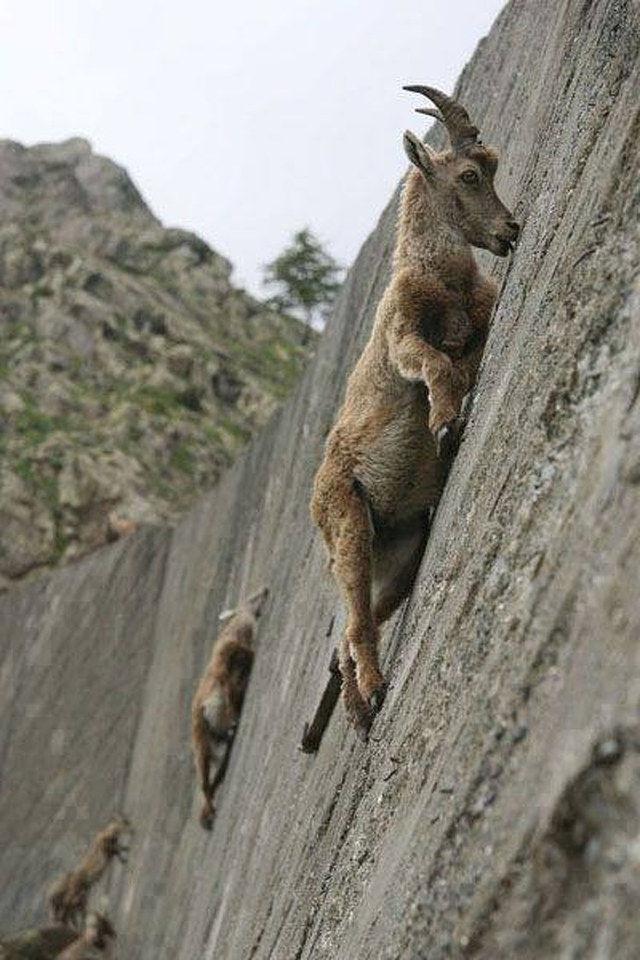 ヤギの身体能力ヤバすぎワロタwwwwwwwwwwww