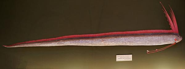 800px-Regalecus_glesne,_Naturhistorisches_Museum_Wien