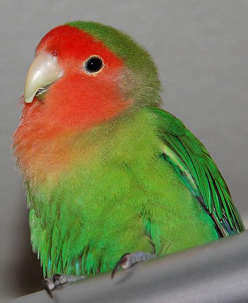 Lovebird_Pi-yan