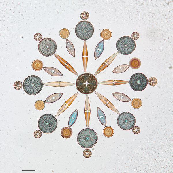 diatom-4
