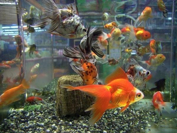 Goldfishs