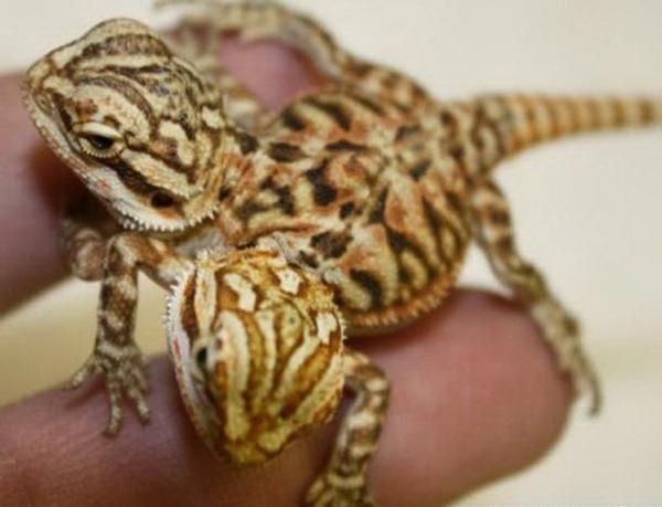 bearded-dragon-animals-plants-photo-u1