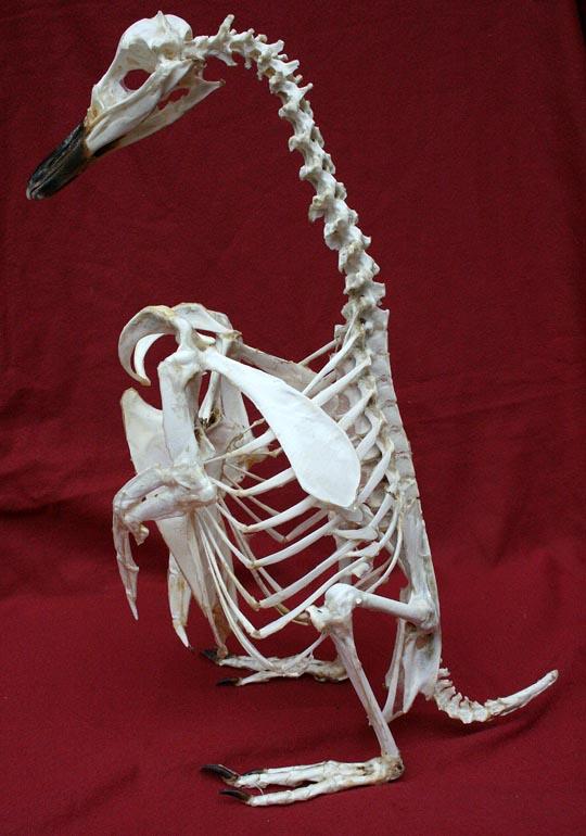 ペンギンの骨格