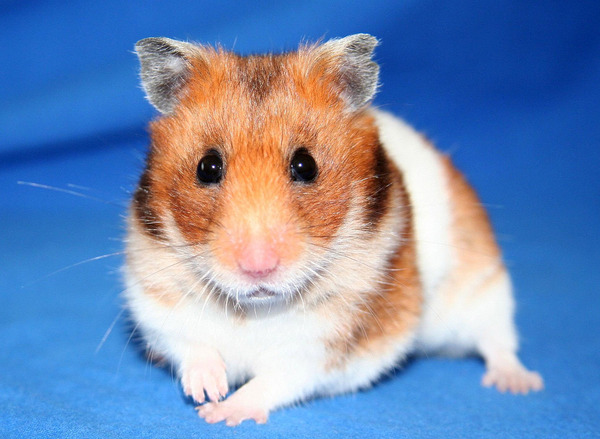 1280px-Goldhamster_2