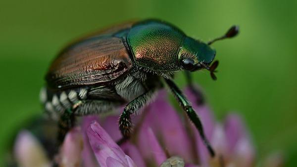 800px-Japanese_Beetle_(Popillia_japonica)_-_London,_Ontario_02