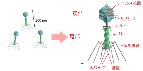 Bacteriophage_structure_ja