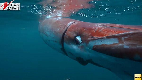 実際に泳いでいるダイオウイカの映像がスゴイ!