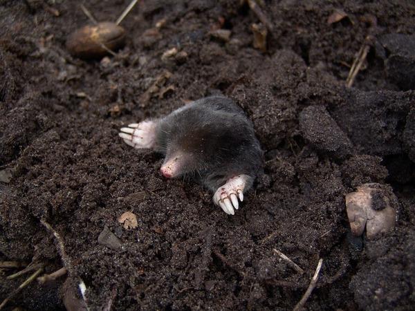 mole-13298_960_720
