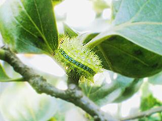 Larva_of_moth