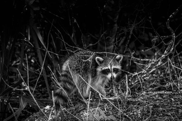 raccoon-2934968_960_720