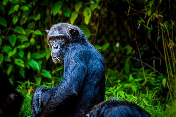 chimpanzee-1589243_640