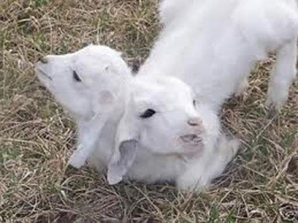 lamb-u3