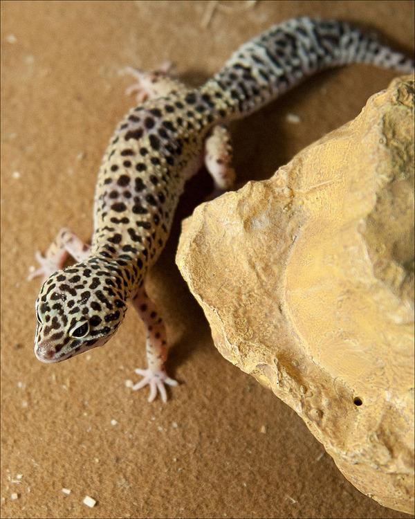 800px-Afghan_Leopard_Gecko