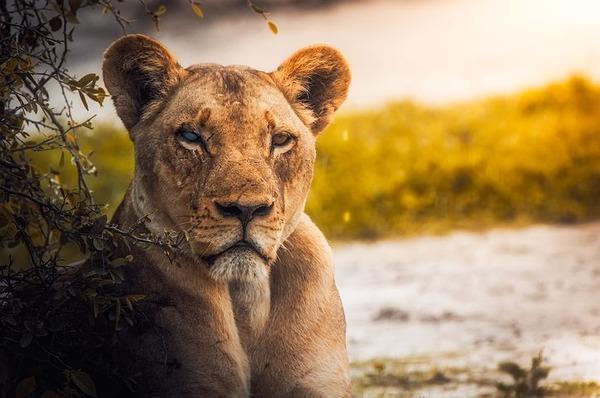 lion-2263345__480