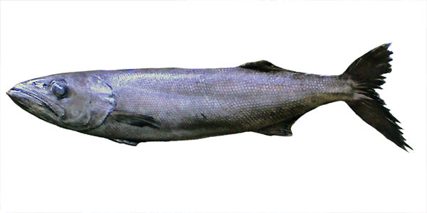 Oilfish
