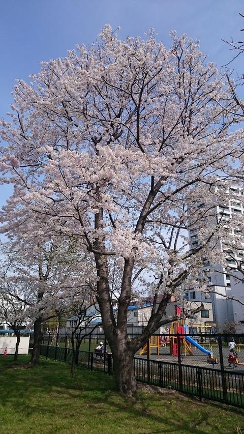 satsukansakura03