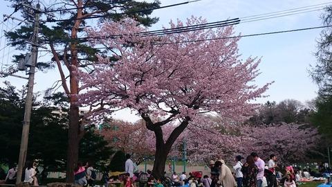 maruyamasakura01