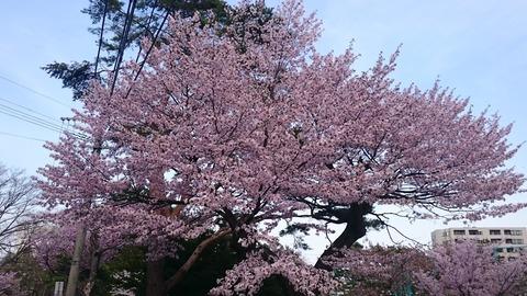 maruyamasakura02