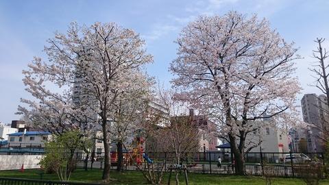 satsukansakura02
