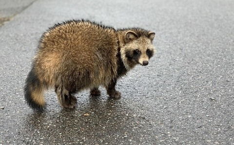 MV-protect-crops-taking-measures-against-raccoon-dogs-min