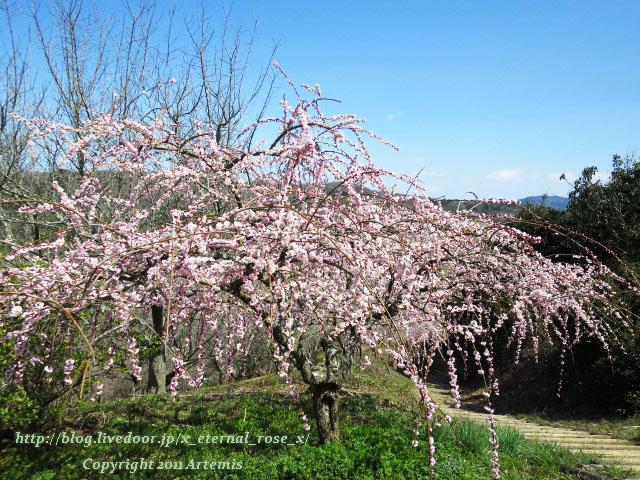 16.3.20.3 神代梅の里公園  (95)